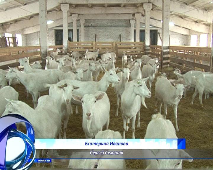 Синяя коза