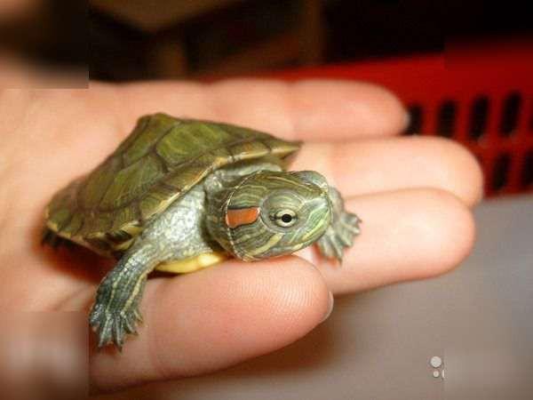 Таможенники не пустили в Курск черепаху