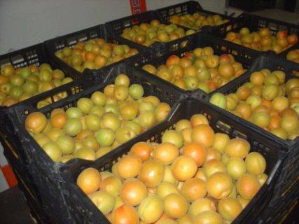 В Курскую область незаконно пытались провезти 20 тонн абрикосов