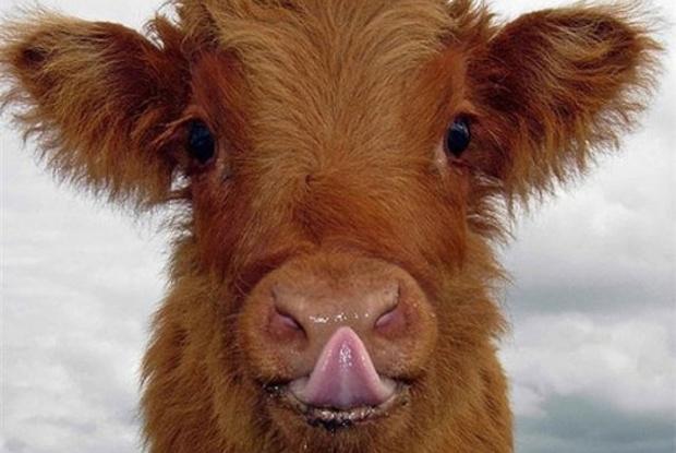 В Курской области украли быка