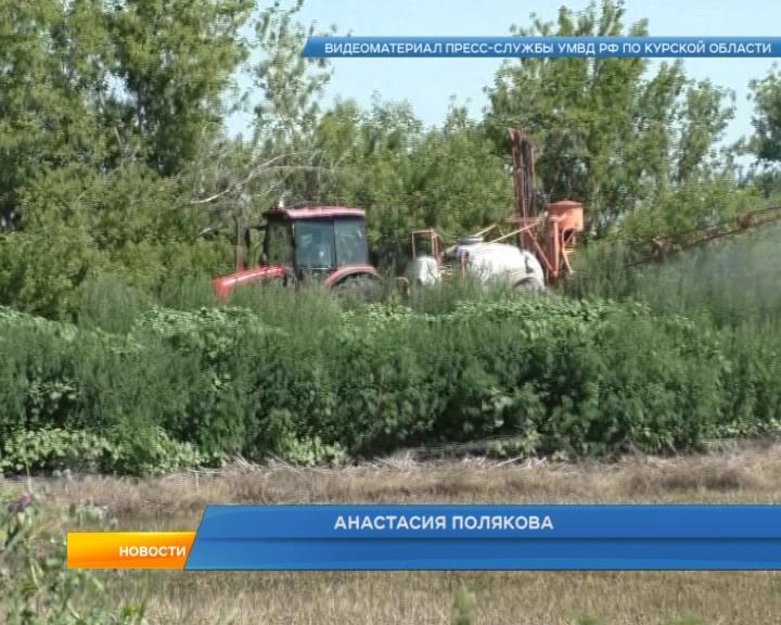 Курские полицейские уничтожили плантацию дикорастущей конопли в Советском районе.