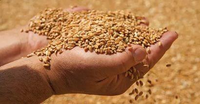 В Курской области обнаружили более 1 млн. тонн зараженного зерна