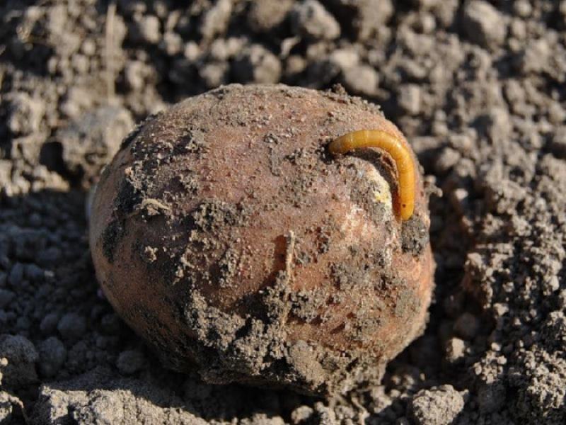 Курский картофель оказался заражен вредителем