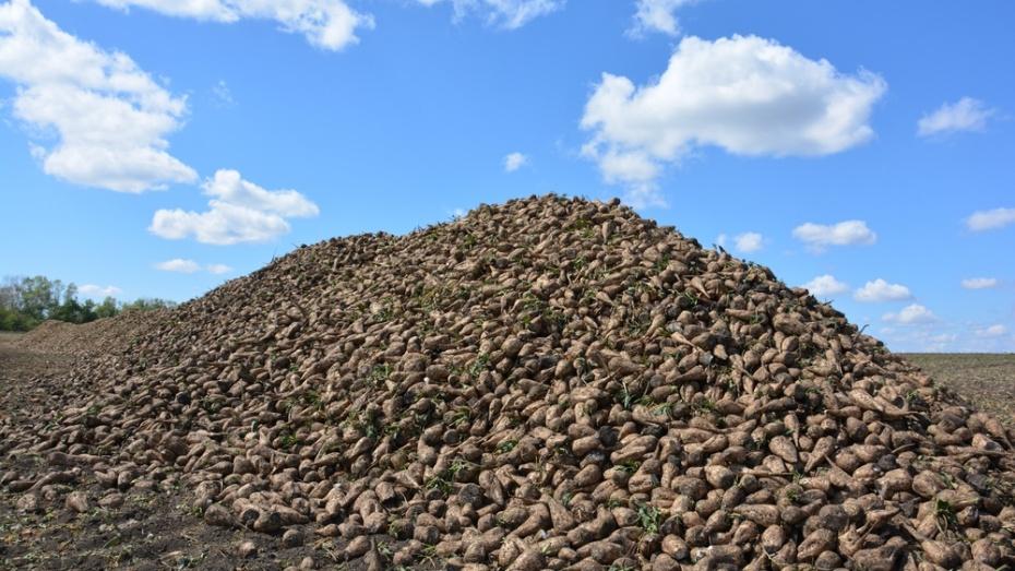 В Курской области завершается уборка сахарной свёклы
