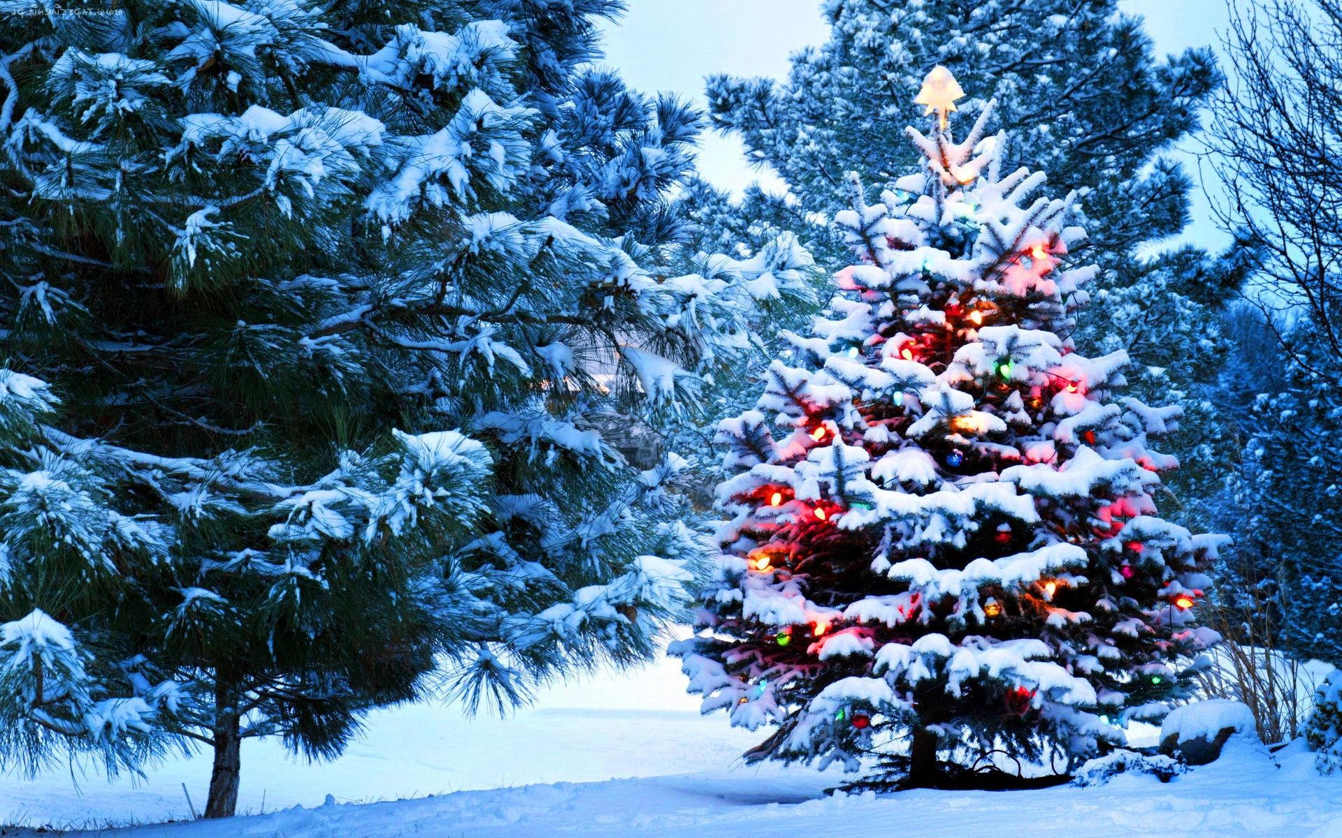 В Курске стартует месячник по охране хвойных деревьев